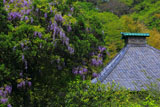 光則寺の藤と本堂