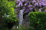 鎌倉別願寺のヤマフジ