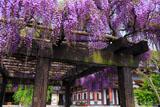 長谷寺の藤棚