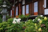 鎌倉大慶寺 牡丹と本堂