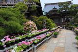 鎌倉本龍寺のサクラソウ