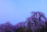 朝月夜の眺陽桜