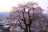 双松公園の慶海桜