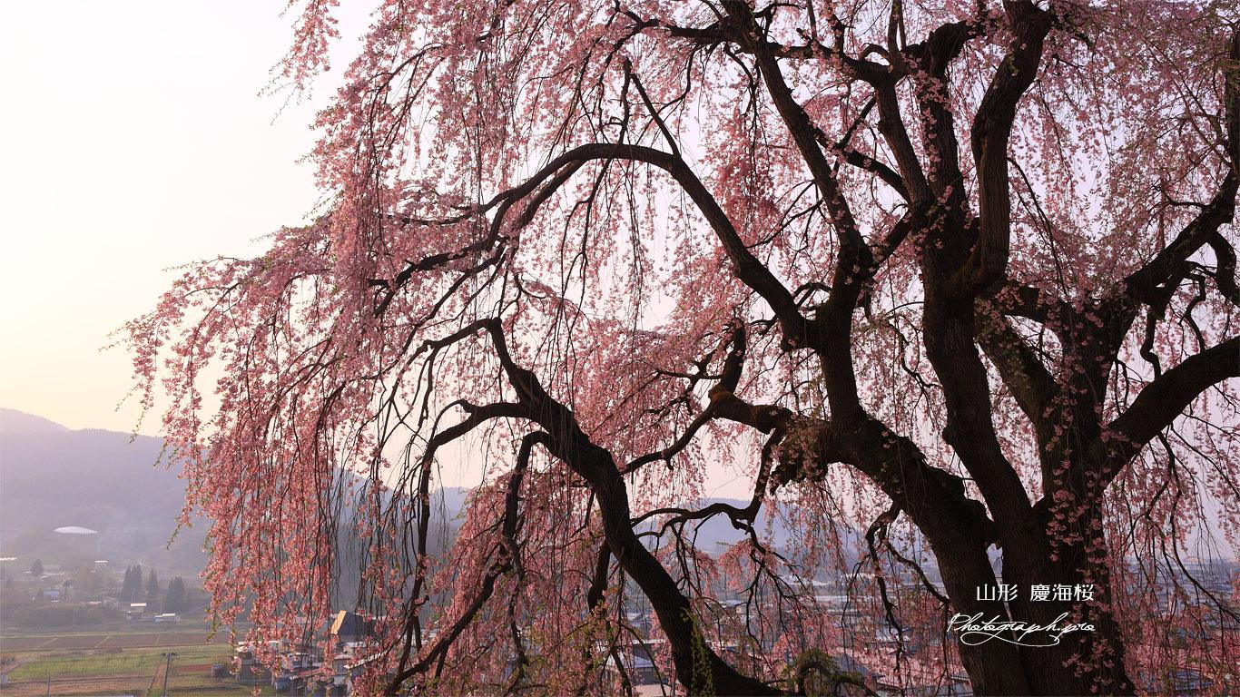 慶海桜 壁紙