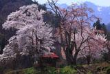 昼下がりの小塩の桜