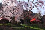夕方の小塩の桜