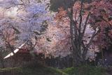 小塩の桜のねじれた幹