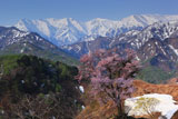樽口峠の大山桜と飯豊連峰