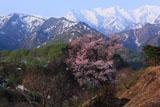 樽口峠の大山桜と烏帽子岳