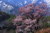 樽口峠の大山桜と雪渓
