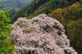 ヤヒコザクラ 弥彦山頂の一本桜