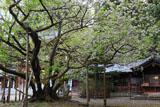 伊佐須美神社の薄墨桜