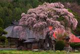 平七桜咲く南泉寺本堂と庫裡