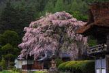 南泉寺楼門と平七桜