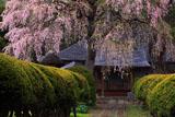 平七桜と南泉寺本堂