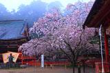 小ぬか雨の塩竈桜