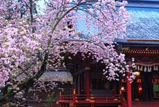 宮城県の桜