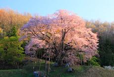 中通りの桜