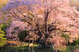 越代のサクラ 赤芽山桜