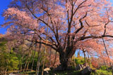 越代のサクラ 御神木