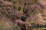 天王桜と祠堂