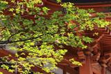 乙宝寺のきのと桜