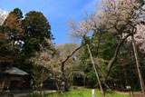 磐椅神社の桜