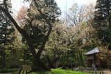 会津五桜の大鹿桜