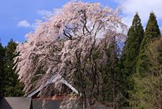 観音寺しだれ桜