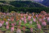 桜峠の大山桜