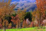 桜峠の大山桜と萌樹