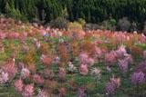 2001本の桜峠の大山桜