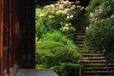 鎌倉浄光明寺 シャクナゲ