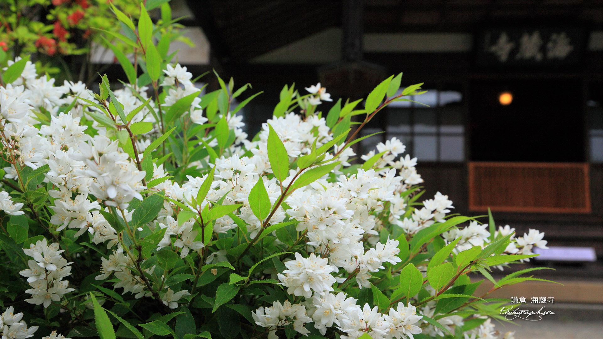 海蔵寺 ウツギと本堂