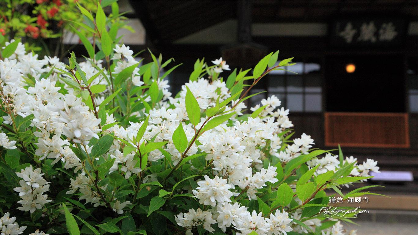 海蔵寺 ウツギと本堂 壁紙