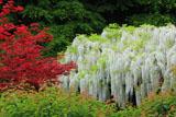 英勝寺の血汐紅葉と白藤