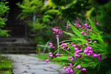 鎌倉英勝寺のシラン