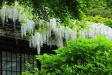 英勝寺のシラフジ