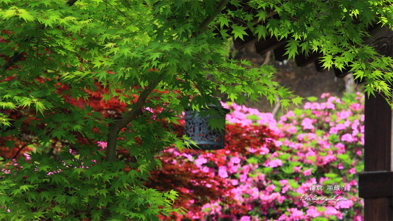 海蔵寺 新緑とツツジ 壁紙