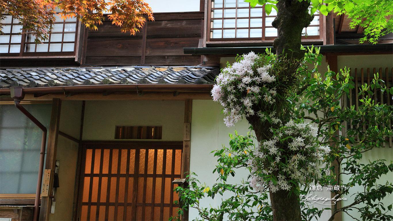 海蔵寺 セッコクと庫裏 壁紙