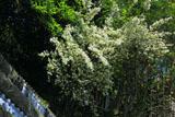 鎌倉長谷寺地蔵堂の空木