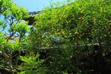 鎌倉長谷寺のキソケイ