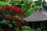 浄智寺の春紅葉と藤