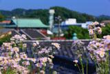泉光院のハルジオン