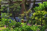 鎌倉勧行寺のシラン