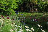 龍宝寺の矢車菊とフランス菊