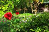 鎌倉龍宝寺の薔薇