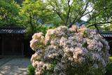 東慶寺 カルミアと庫裏