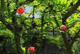 鎌倉 昌清院のバラ
