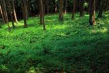 北野神社 杉林の木漏れ日
